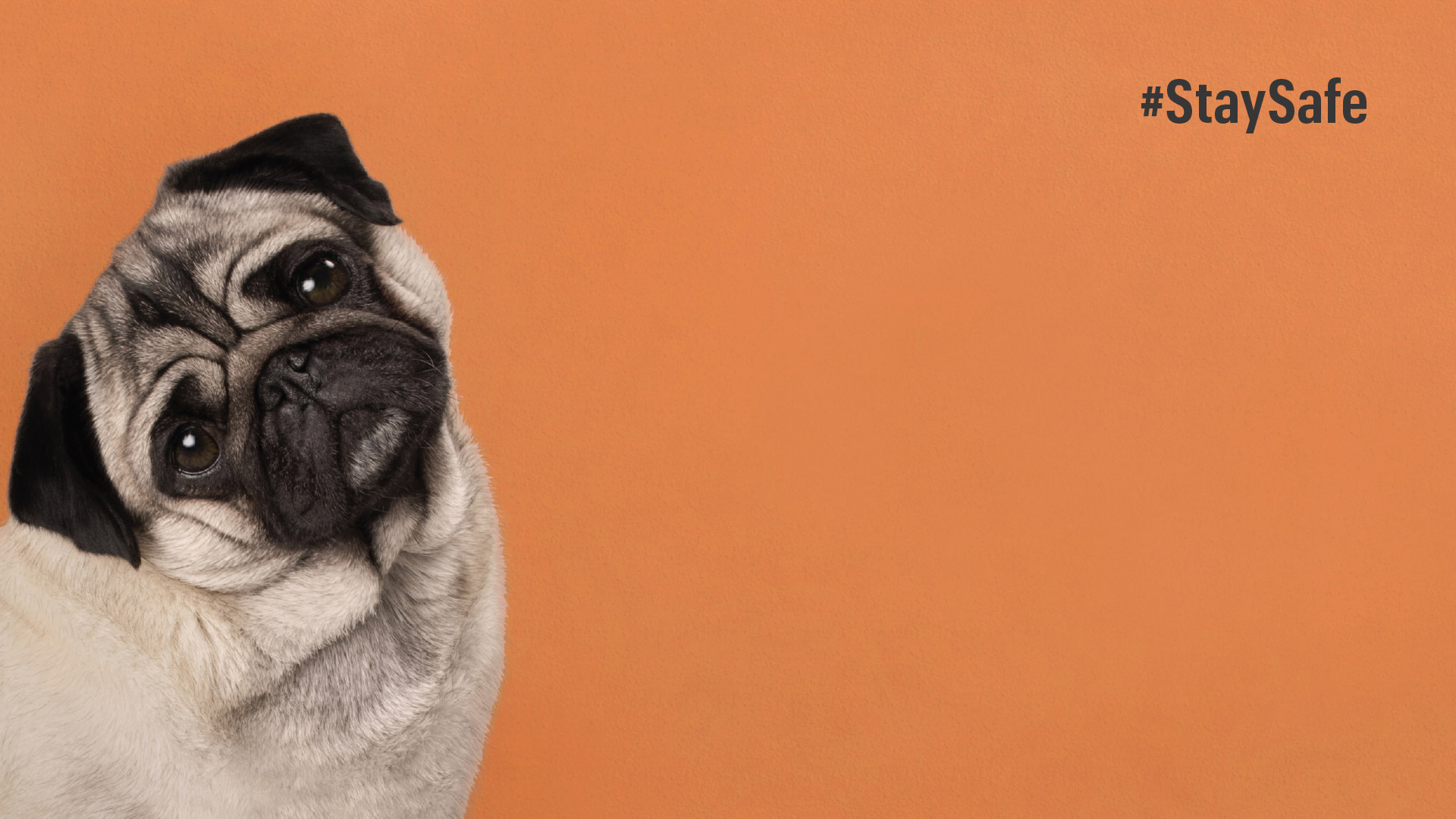 Bravo Tango - Zoom Backgrounds - Pug